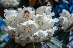 Manosee la abeja que poliniza un rododendro blanco Fotografía de archivo libre de regalías