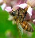 Manosee la abeja que poliniza una flor Imagen de archivo
