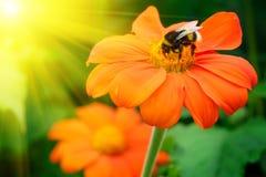 Manosee la abeja que poliniza una flor Fotos de archivo libres de regalías