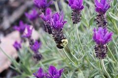 Manosee la abeja que poliniza una flor bonita de la lavanda Foto de archivo libre de regalías