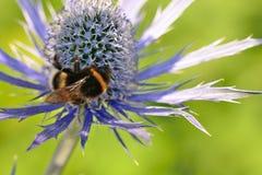 Manosee la abeja que poliniza una flor del eryngium Foto de archivo libre de regalías