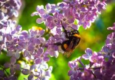Manosee la abeja que poliniza una lila de la flor Fotos de archivo