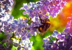 Manosee la abeja que poliniza una lila de la flor Imagen de archivo
