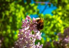 Manosee la abeja que poliniza una lila de la flor Fotografía de archivo