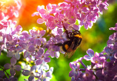 Manosee la abeja que poliniza una lila de la flor en la puesta del sol Foto de archivo