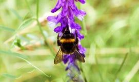 Manosee la abeja que recoge el néctar Imagen de archivo