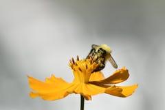 Manosee la abeja que recoge el néctar Fotografía de archivo libre de regalías