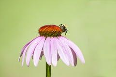 Manosee la abeja que recoge el néctar de la flor rosada púrpura Imágenes de archivo libres de regalías