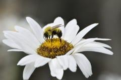 Manosee la abeja que recoge el néctar de margarita Foto de archivo