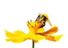 Manosee la abeja que recoge el néctar en el fondo blanco Foto de archivo libre de regalías