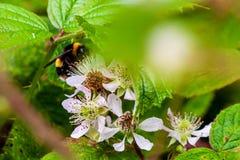 Manosee la abeja que recoge el néctar en un arbusto de zarzamora imagen de archivo libre de regalías