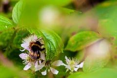 Manosee la abeja que recoge el néctar en un arbusto de zarzamora foto de archivo libre de regalías