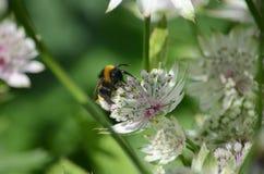 Manosee la abeja que recoge el néctar en una flor Fotos de archivo