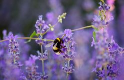 Manosee la abeja que recoge el néctar y el polen de la lavanda púrpura Fotografía de archivo libre de regalías