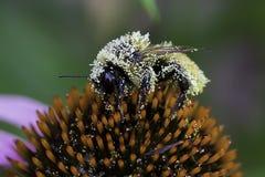 Manosee la abeja que recoge el polen Imagen de archivo libre de regalías