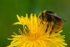 Manosee la abeja que recoge el polen Fotos de archivo libres de regalías