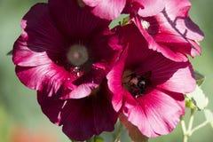 Manosee la abeja que recoge el polen Imagen de archivo