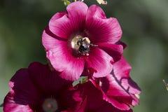 Manosee la abeja que recoge el polen Fotos de archivo