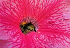 Manosee la abeja que recoge el polen Foto de archivo libre de regalías