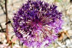 Manosee la abeja que recoge el polen de la flor Fotos de archivo