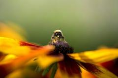 Manosee la abeja que recoge el polen de la flor Fotografía de archivo