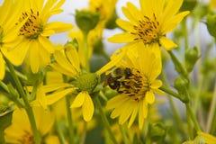 Manosee la abeja que recoge el polen en las flores amarillas Foto de archivo