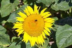Manosee la abeja que recoge el polen en un girasol Imagen de archivo