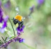 Manosee la abeja que recoge el polen en una flor púrpura Fotos de archivo libres de regalías
