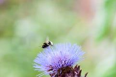 Manosee la abeja que recoge el polen en una planta Imágenes de archivo libres de regalías