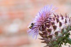 Manosee la abeja que recoge el polen en una planta Fotos de archivo libres de regalías