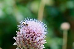Manosee la abeja que recoge el polen en una planta Fotografía de archivo