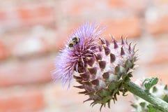 Manosee la abeja que recoge el polen en una planta Foto de archivo libre de regalías