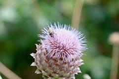 Manosee la abeja que recoge el polen en una planta Fotos de archivo