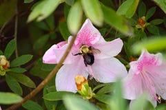 Manosee la abeja que recolecta el néctar del arbusto de la azalea Imagen de archivo