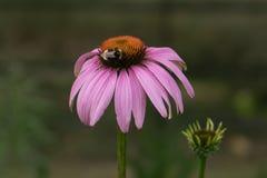 Manosee la abeja que recolecta el polen Fotos de archivo