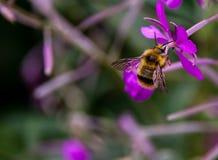 Manosee la abeja que recolecta el polen en una flor púrpura Imagen de archivo
