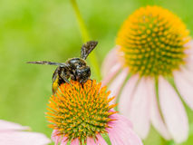 Manosee la abeja que recolecta Polen Fotos de archivo