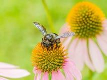Manosee la abeja que recolecta Polen Imagen de archivo