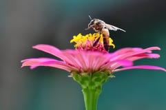 Manosee la abeja que recolecta Polen del Zinnia Fotos de archivo