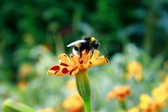 Manosee la abeja que se coloca en la flor anaranjada Fotos de archivo