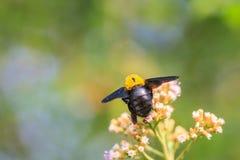 Manosee la abeja que se sienta en la flor salvaje Fotografía de archivo