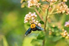 Manosee la abeja que se sienta en la flor salvaje Imágenes de archivo libres de regalías