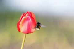 Manosee la abeja que se sienta en un brote rojo brillante del tulipán Fotos de archivo