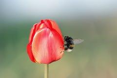 Manosee la abeja que se sienta en un brote rojo brillante del tulipán Fotos de archivo libres de regalías