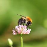 Manosee la abeja que se sienta en un trébol de la flor Foto de archivo