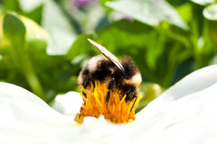 Manosee la abeja que se sienta en una flor Foto de archivo libre de regalías