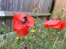 Manosee la abeja que se sienta en una flor roja foto de archivo
