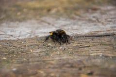 Manosee la abeja que se sienta en una madera Imagenes de archivo