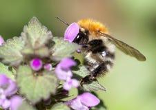 Manosee la abeja que trabaja en una flor Fotografía de archivo libre de regalías
