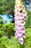 Manosee la abeja que vuela cerca a las flores de la dedalera con cierre para arriba de pétalos púrpuras Fotografía de archivo libre de regalías